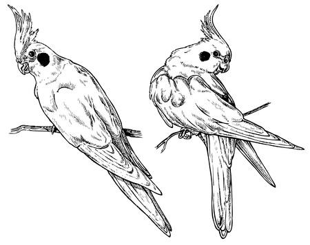 두 가지 관점에서 앵무새 왕관 앵무. 종이에 그리기.