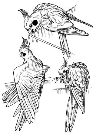 ligotage: Le cockatiel de perroquet de trois points de vue. Dessin sur papier.