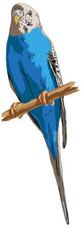 ligotage: L'image d'un perroquet en couleur sur fond blanc. Illustration