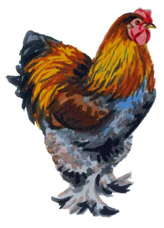 breed: watercolor illustration of a white background rooster breed Brama