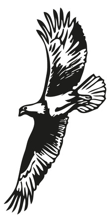 bald: hand drawing on a white background Bald Eagle Illustration