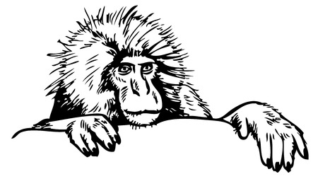 primate: hand drawing on a white background snow monkeys