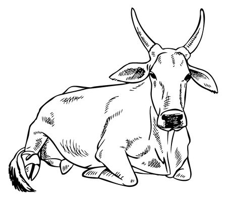 hoofed mammal: hand drawing on a white background Indian zebu cow