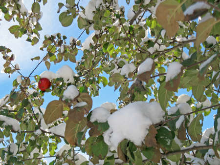 miracle leaf: Photo red apple hanging on a tree branch in the snow. wonders of nature