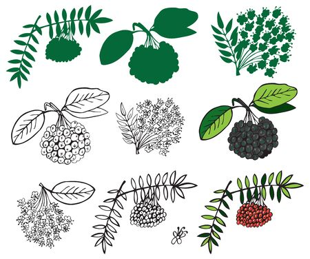 Illustration on a white background and silhouette of black and red ashberry Illustration