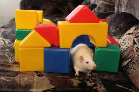 장난감 cubby로 둘러싸인 소파에 앉아 흰 쥐의 사진