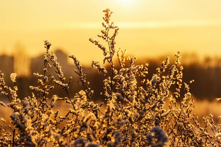 Snow-covered bush on a background of sunset sky Stock Photo