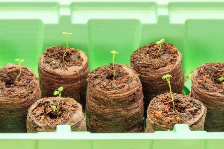peat: Seedlings thyme in peat pellets. Selective focus
