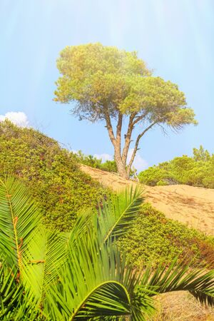 Pine on sandy hillock surrounded by shrubs and young palm trees against the blue sky on a sunny day