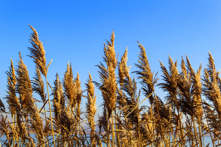 Dry inflorescences, leaves and stems of reed ordinary, Phragmites australis, against a clear blue sky. Background