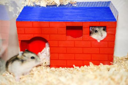 A pair of domestic Dzhungar hamsters, Phodopus sungorus, in a cage. One sits at the entrance to the house, the other looks out of the window