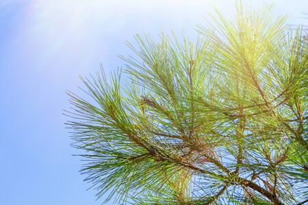 Pine branches with long and dense needles against the blue sky in bright sunlight