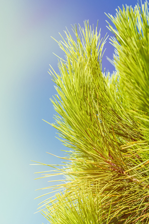 Pine branches with long and dense needles against the blue sky in bright sunlight. Toning