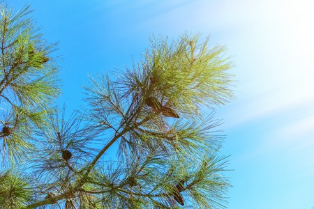 Pine branches with long and dense needles and cones against the blue sky in bright sunlight
