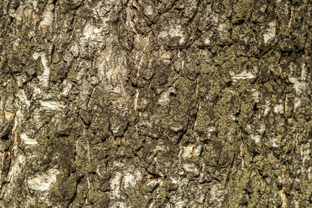 Background of an old lichen covered birch bark texture