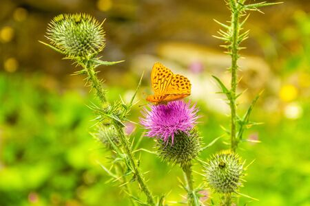 Thistle bloom and butterfly in the sun. Wild nature. Meadow flowers. Фото со стока