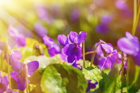 Beautiful blooming violets odorata in the rays of light. The first spring flowers. Natural background with sun flare.
