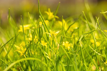 Spring blooming yellow gagea flowers in a green shiny meadow. The first spring flowers. Natural background. Banco de Imagens - 137896039