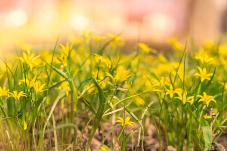 Spring blooming yellow gagea flowers in a green shiny meadow. The first spring flowers. Natural background. Banco de Imagens - 137896501