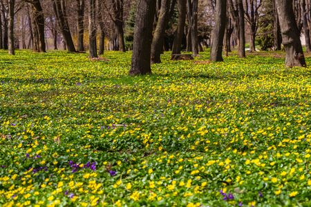 Spring natural background. Blooming forest meadow of yellow flowers.