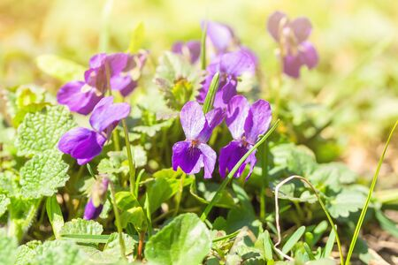 Beautiful bloom of violet odorate. The first spring flowers.  免版税图像