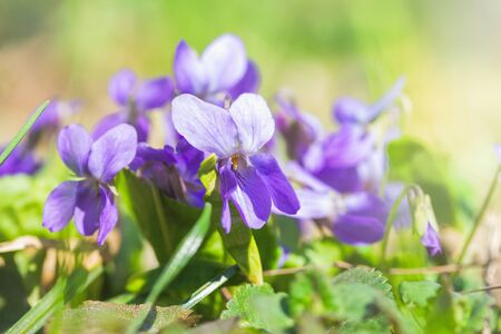 Beautiful bloom of violet odorate. The first spring flowers.