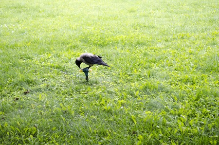 Crow on the lawn