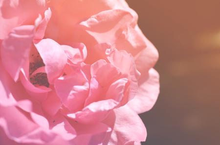 Colorful backdrop. Rose flower bouquet background. Floral composition toned Stok Fotoğraf