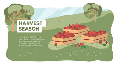 Harvest season in farm land. Picking or gathering apples. Orchard fruit vector illustration. Horticulture concept. Design of gardening or farming. Layout or flyer with wooden boxes full of red fruits