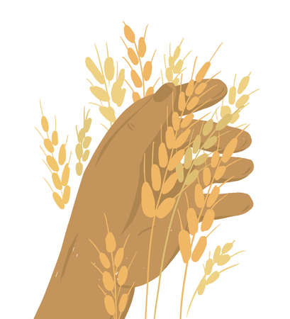 Human hand with ears of wheat. Farmer holding ripe grain. Harvest in farm land. Man checking crop. Autumn season. Agriculture or farming concept. Agricultural activity. Isolated vector illustration