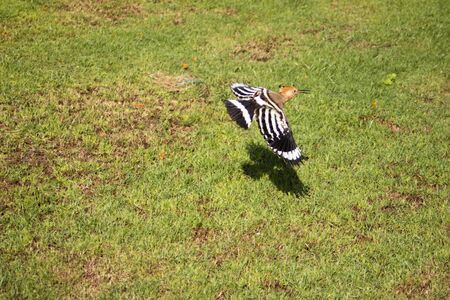 The close up photo of taking wing hoopoe bird in sunny day