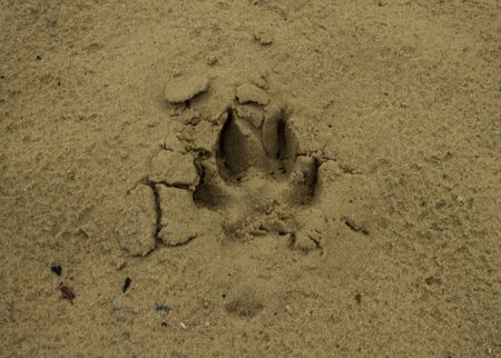Dog or wolf track or footprint on the wet sand. Animal trace on the ground