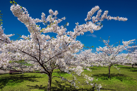 White sakura trees against the clear blue sky and bright green grass