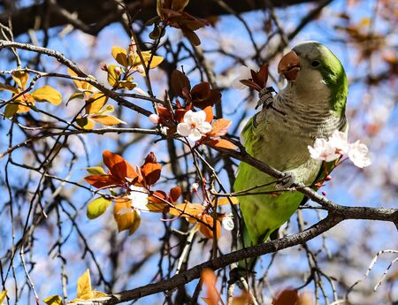 a parrot eating flowers on a tree in the Botanical garden of Madrid