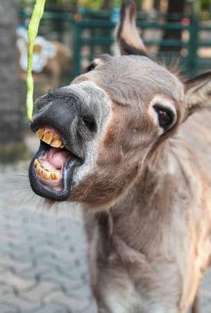 donkey: Smiling donkey Stock Photo