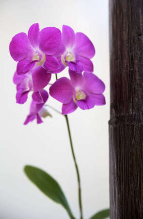 Purple orchid beside the trunk of the palm photo