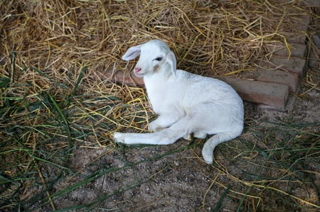 yeanling: White newborn lamb Stock Photo