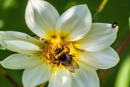 A bee collects pollen from a white flower under the supervision of a small beetle. Banco de Imagens