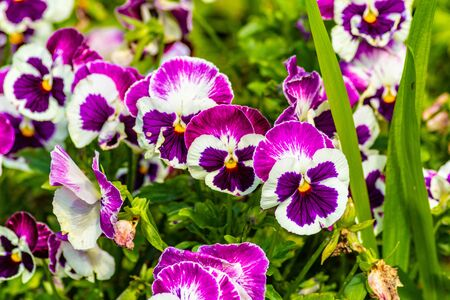 Wallpaper flowers pansies, close-up. Dark and light violet and white color.