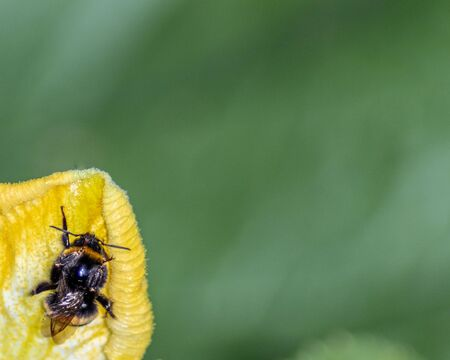 Wallpaper bee on a flower, green background.