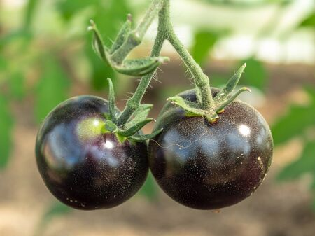 A two ripe black tomatoes on a branch, closeup. Blurred background. Soft green and brown tones. Stok Fotoğraf