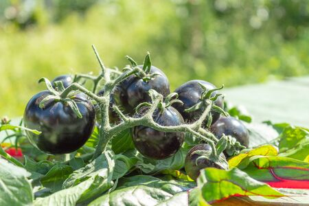 A bunch of black tomatoes on a branch is laid on the table. Bright sunshine. Blurred background.