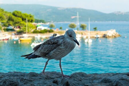 A large bird is looking for food in the background of a sea landscape. Close-up. Krk, island of Krk, Croatia.