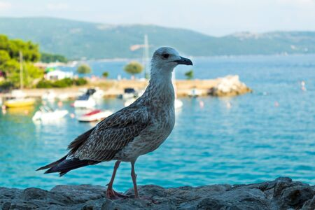 Big bird on a background of the sea landscape.  Close-up. Blurred background. Krk, island of Krk, Croatia.