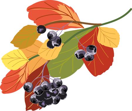 chokeberry: chokeberry