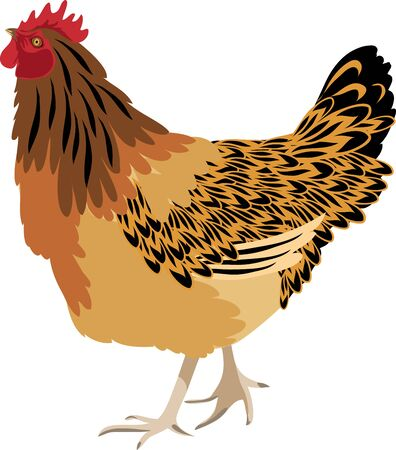 Illustration of chicken isolated in white background.
