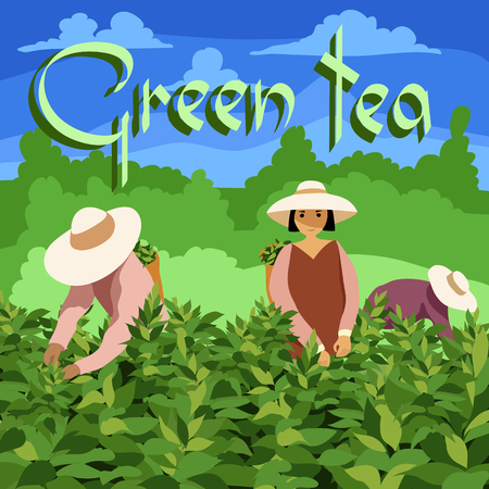 Tea picker. Illustration