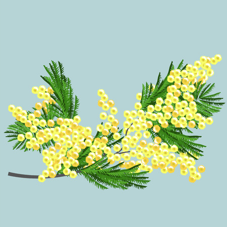 Mimosa branch. vector image of Mimosa