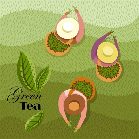 people collect tea in the field. vector image of people with a top view. green tea