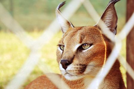 farme: Caracal Emdoneni Lodge Cat Rehabilitation Centre and Game Farm South Africa